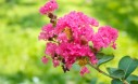 Crape Myrtle (Lagerstroemia indica) blooms in the garden.