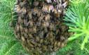 Bee Swarm At UBC Farm
