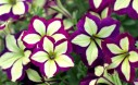 Crazytunia Frisky Purple Petunia