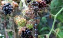 Dragonfly And Blackberries Celebrate Earth Day
