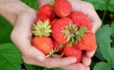 Grow Sweet Organic Strawberries Anywhere With This Guide To Growing Container Strawberry Plants