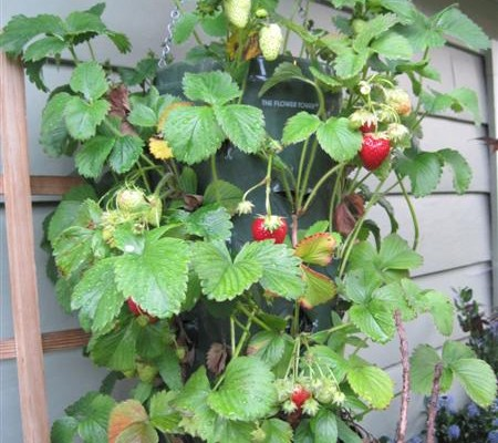 Weekend Project: Hanging Strawberry Planter - Weekend Project: Hanging Strawberry Planter - Garden Therapy