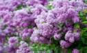Fragrant Flowers List Lilac