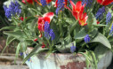 Mixed Bulb Container Recipe Tulips And Muscari