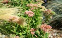 Sedum Provide Flowers And Pops Of Color Well Into The Fall