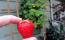 Strawberry From Hanging Planter