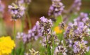 Thumbelina Lavender