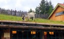 Coombs Goats On The Roof 2 Medium