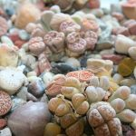 "Lithops: ""flowering stones"" or ""living stones"""