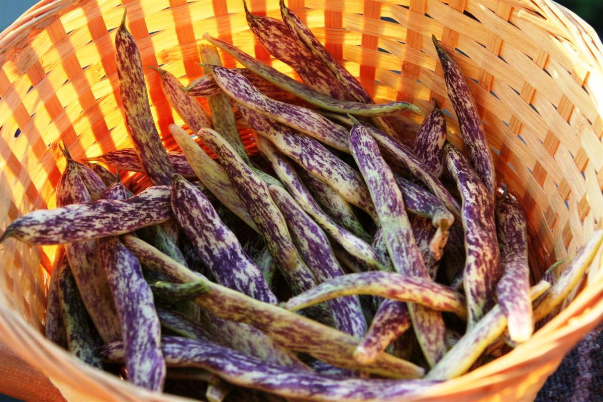 Dragon S Tongue Beans Garden Therapy