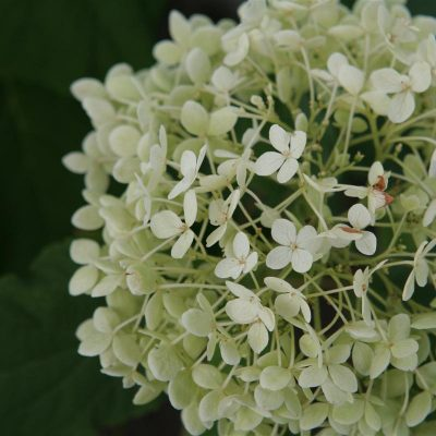 Adopted White Hydrangea