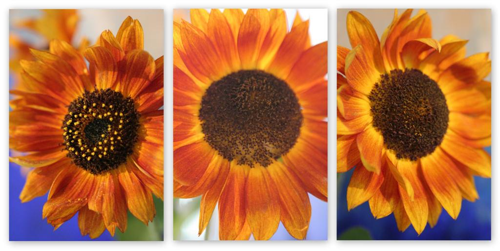 Sunflowers In September 2009 Large