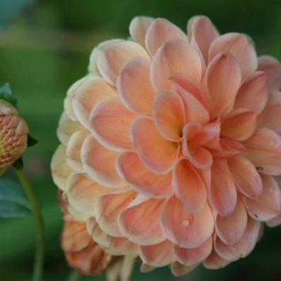 Garden Blogger's Bloom Day