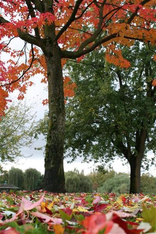 Fall Foliage in John Hendry Park, Vancouver, BC.