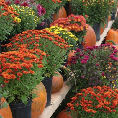 Wordless Wednesday: Asters in Stunning Fall Colours