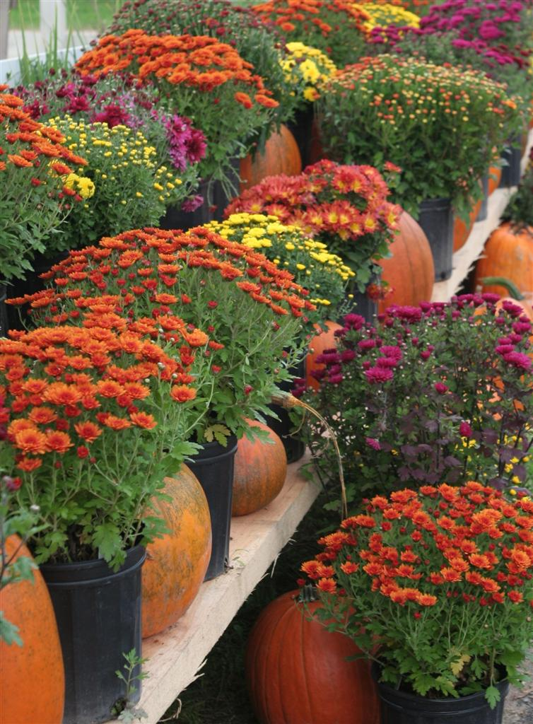 Stunning Fall Color Asters
