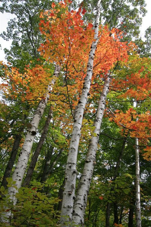 Birch Trees in Mackenzie King Estate, Quebec