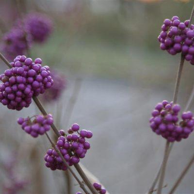 Flora Friday: Beautyberry