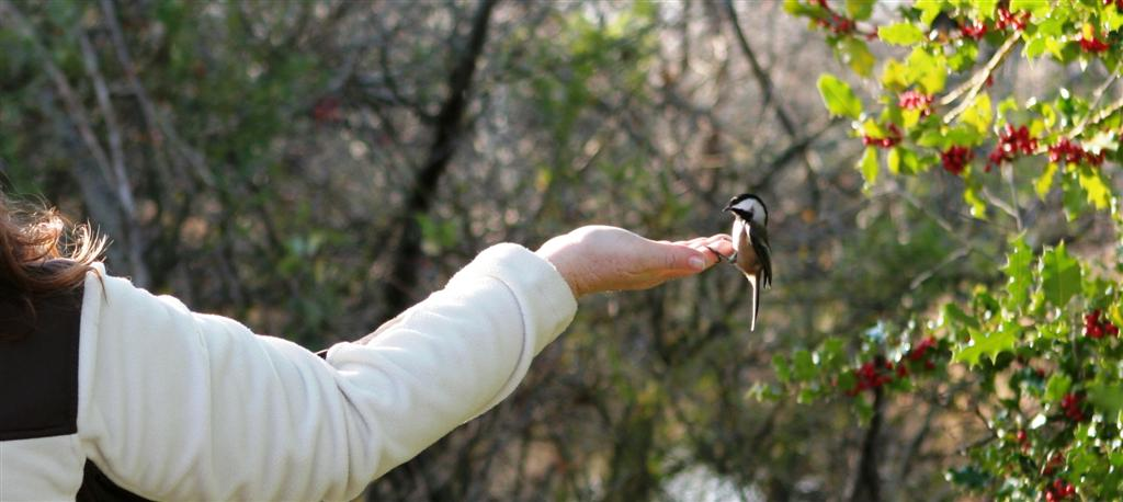 Hand feeding the chickadees