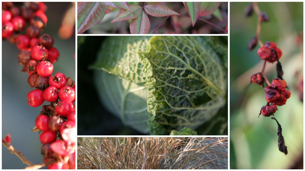 Clockwise from top left: Rockspray Cotoneaster (Cotoneaster horizontalis), Heavenly Bamboo (Nadina Domestica), Crocosmia Seed Heads (Emily Mackenzie), Ornamental Grasses.  Center: Winterfurst Savoy Cabbage