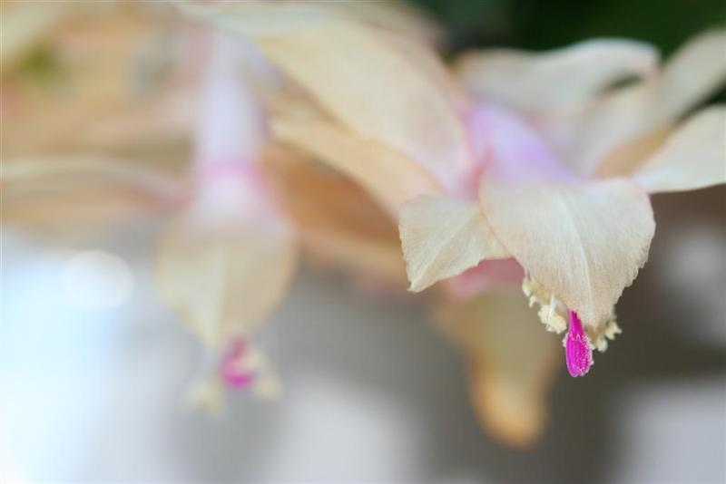 Christmas cactus flower close up