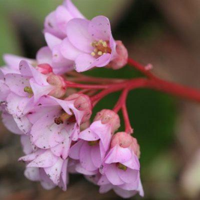 Flora Friday: Bergenia