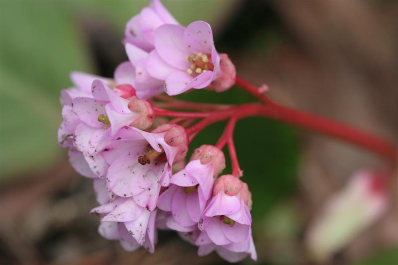 Bergenia Blooms With Red Stem