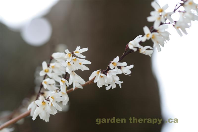 White Forsythia Medium2