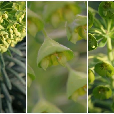 The Aliens Have Bloomed: Euphorbia