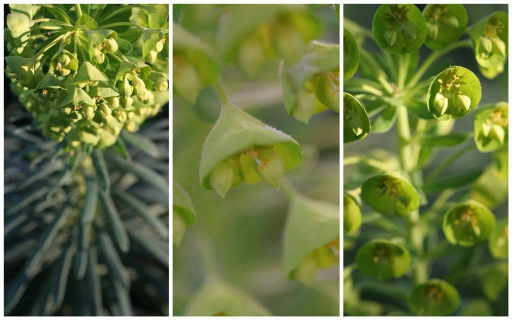 Euphorbia Large