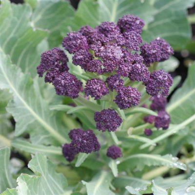 Purple Cauliflower Chaos