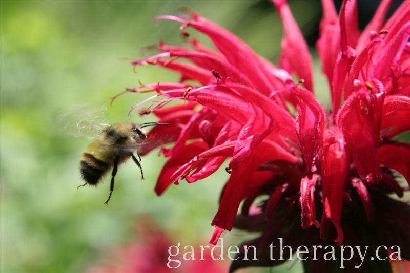Bee on Bee Balm - How to Attract Beneficial Insects