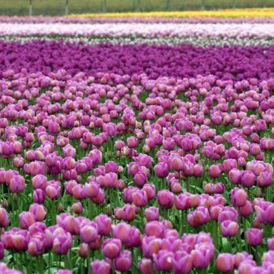 Delighting the Senses: a Trip to the Tulip Festival