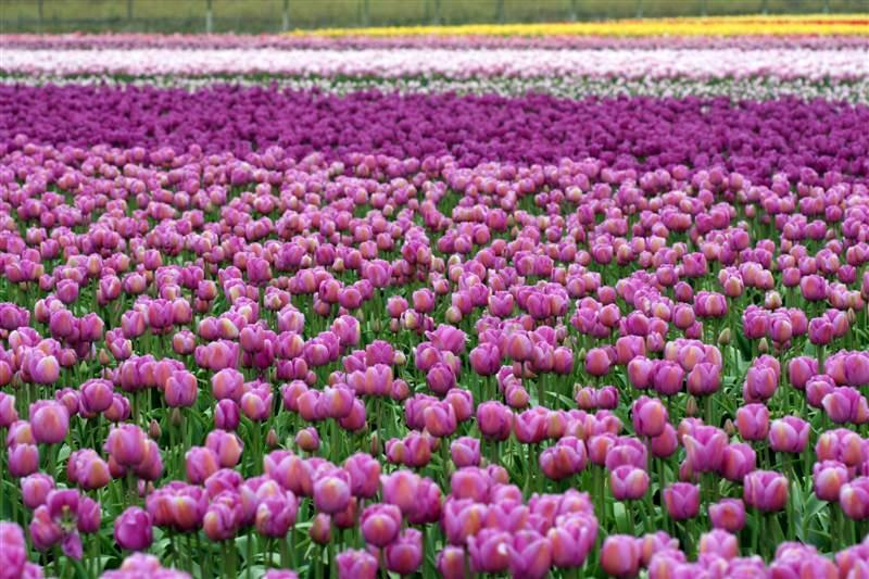 Blooming Tulip Fields Skagit Valley Washington