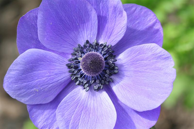 Blue Anemone2