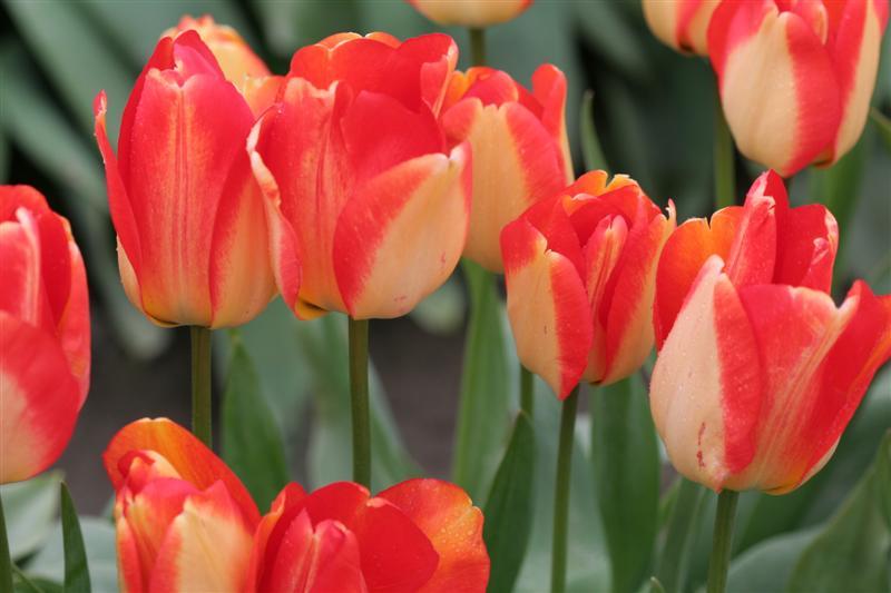 Judith Leyster Tulips