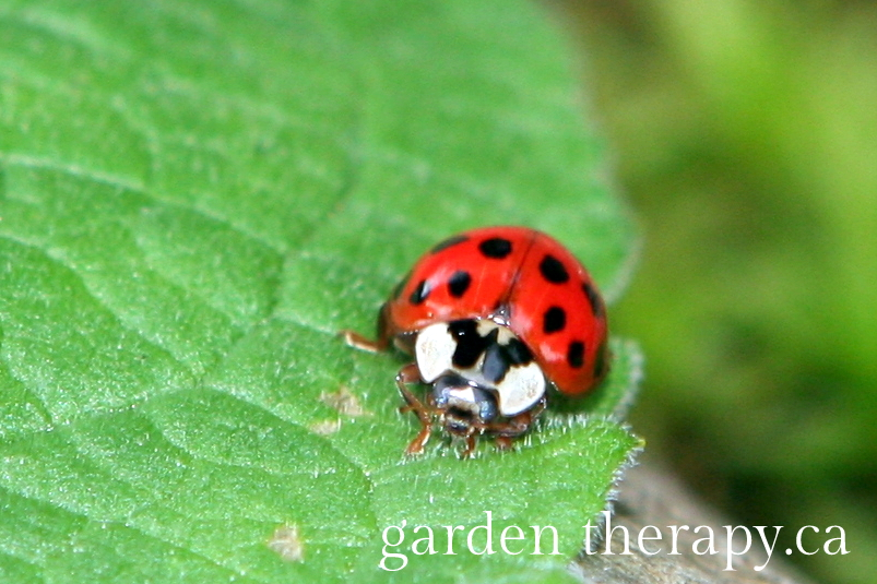 Ladybug - How to Attract Beneficial Insects