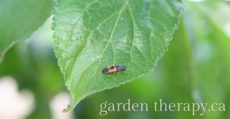 Ladybug Larva  - How to Attract Beneficial Insects