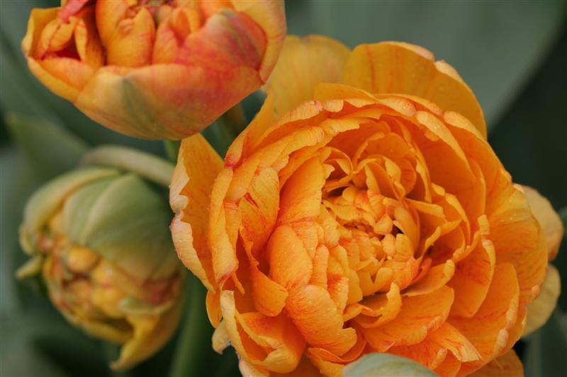 Miranda Tulips Yellow Orange