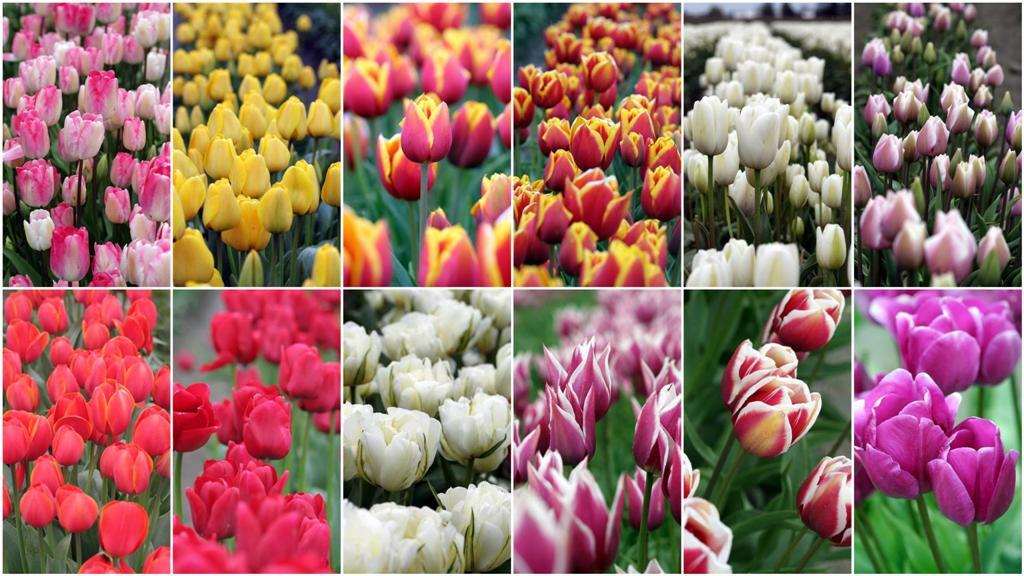 Delighting The Senses A Trip To The Tulip Festival Garden Therapy