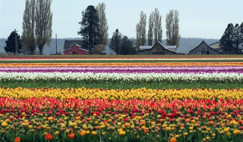 Tulip Town at the 27 Annual Skagit Valley Tulip Festival