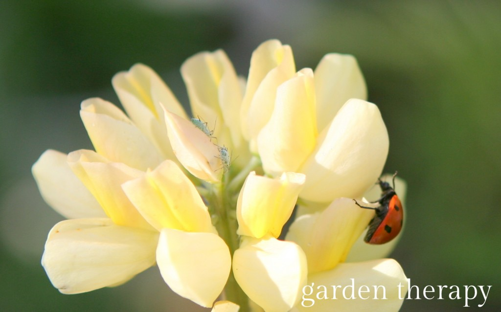 ladybug hunting aphids on a yellow lupine