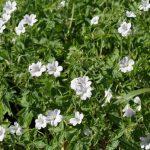 Geranium Hardy White