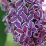 Lilac 'Sensation'