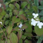 Viburnum plicatum tomentosum 'Summer Snowflake'