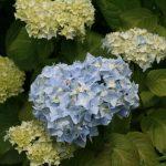 Blue Ball Hydrangea