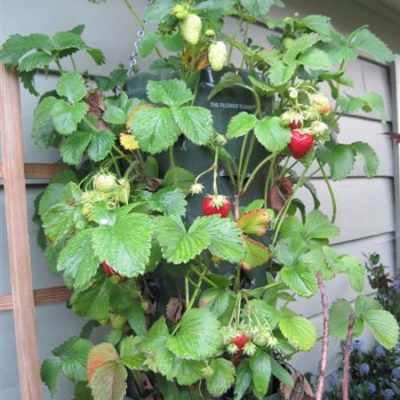 Weekend Project: Hanging Strawberry Planter