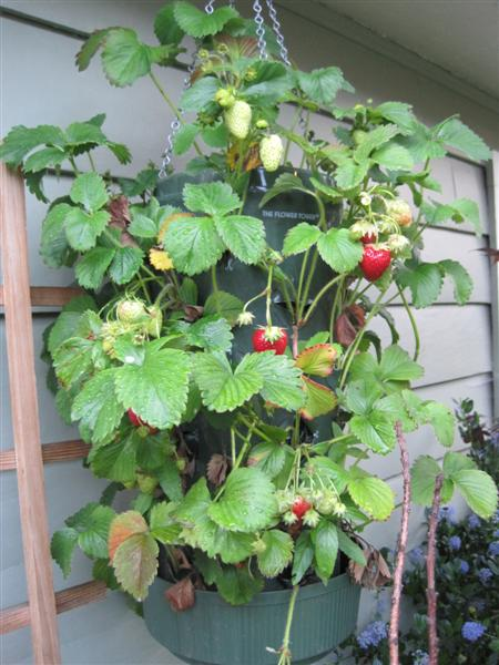 Hanging Strawberry Planter In June