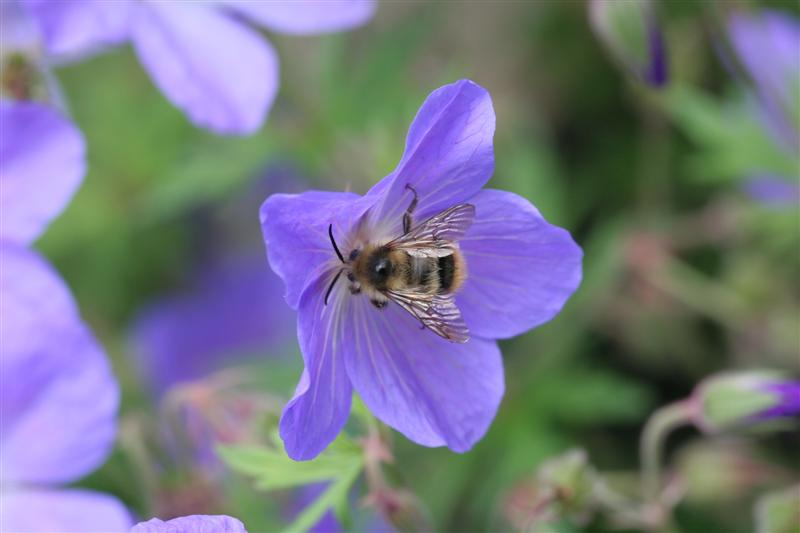 Johnsons Blue Geranium