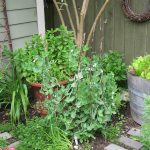Pea Brush Cascadia Snap Peas